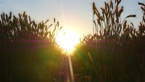 Campo de trigo de oro durante puesta del sol Espiguillas del trigo que se sacuden en el viento El concepto de cosecha fotos de archivo libres de regalías