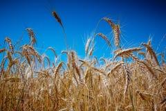 Campo de trigo de oro en cielo azul de verano del claro soleado caliente del día Fotos de archivo