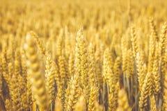 Campo de trigo de oro Foco ascendente de los tallos y del grano del trigo, selectivo cercano en sombras suaves de amarillo y de a Foto de archivo libre de regalías