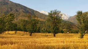 Campo de trigo de oro de la cosecha del kangra remoto Himachal la India de la región de la montaña fotos de archivo libres de regalías