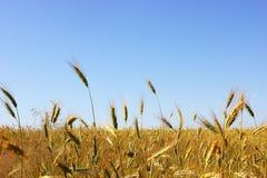 Campo de trigo Paisaje rural bajo luz del sol brillante Imagen de archivo