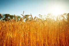 Campo de trigo Paisaje rural bajo luz del sol brillante Un fondo del trigo de maduración Cosecha rica Fotos de archivo