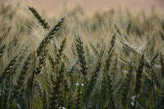 Campo de trigo para el rocío Fotos de archivo libres de regalías