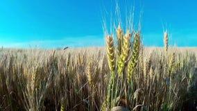 Campo de trigo Planta, natureza, centeio Colheita na exploração agrícola filme
