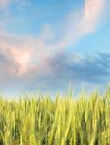 Campo de trigo por la mañana con el cielo azul Fotografía de archivo libre de regalías