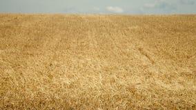 Campo de trigo pronto para ser colhido video estoque