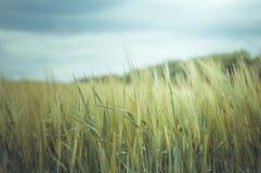 Campo de trigo que espera la tormenta Fotografía de archivo libre de regalías