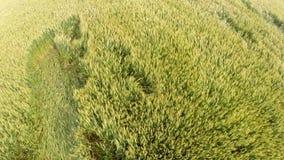 Campo de trigo que sopla en el viento almacen de metraje de vídeo