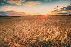 Campo de trigo rural del campo Campo amarillo de la cebada en verano Tiempo de cosecha Cielo dramático colorido en la salida del  Fotos de archivo libres de regalías