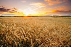 Campo de trigo rural del campo en el fondo de la salida del sol de la puesta del sol colo Fotografía de archivo libre de regalías