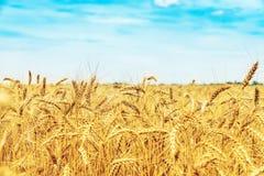 Campo de trigo sob o céu azul com nuvens Colheita dourada fotografia de stock