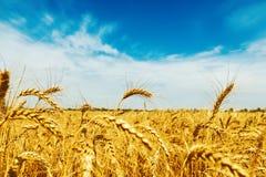 Campo de trigo sob o céu azul com nuvens Colheita dourada fotos de stock