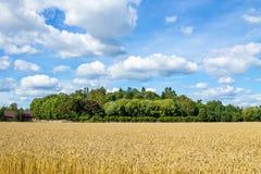 Campo de trigo sob o céu nebuloso azul Imagens de Stock Royalty Free