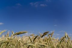 Campo de trigo sob um céu azul.   imagens de stock