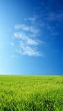 Campo de trigo sobre el cielo azul Fotos de archivo