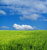 Campo de trigo sobre o céu azul Foto de Stock Royalty Free