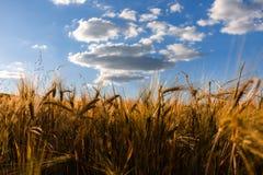 Campo de trigo soleado en día de verano, cielo azul imagenes de archivo