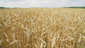 Campo de trigo soleado de las tierras de labrantío almacen de metraje de vídeo