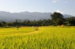 Campo de trigo tailandés Fotografía de archivo libre de regalías