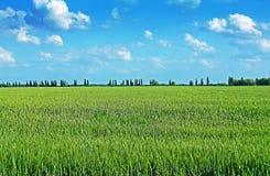 Campo de trigo verde foto de archivo