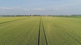 Campo de trigo verde almacen de metraje de vídeo