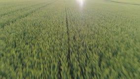 Campo de trigo verde metrajes