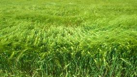 Campo de trigo verde Imagens de Stock Royalty Free