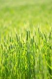 Campo de trigo verde Ilustración del Vector