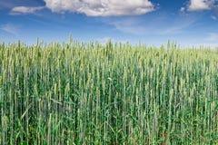 Campo de trigo verde Imagen de archivo libre de regalías