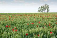 Campo de trigo verde Fotos de Stock