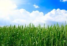 Campo de trigo verde Fotografía de archivo libre de regalías