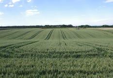 Campo de trigo verde Fotos de Stock Royalty Free