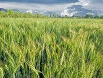 Campo de trigo verde Fotos de archivo
