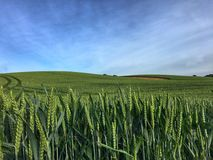 Campo de trigo verde Fotos de archivo libres de regalías