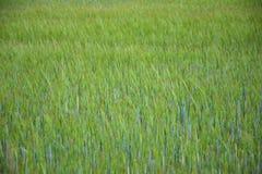 Campo de trigo verde Imagem de Stock