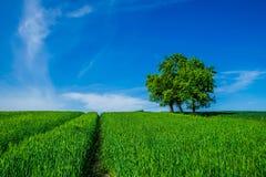 Campo de trigo verde, cielo azul y árbol Imagen de archivo