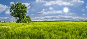Campo de trigo verde com árvore Imagens de Stock Royalty Free
