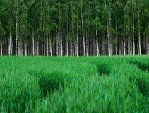 Campo de trigo verde com o bosque de árvores de vidoeiro foto de stock