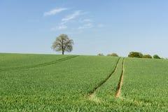 Campo de trigo verde con el árbol solitario Imagen de archivo