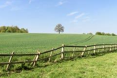 Campo de trigo verde con el árbol solitario Fotografía de archivo libre de regalías