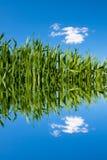 Campo de trigo verde con las ondulaciones del agua Fotografía de archivo