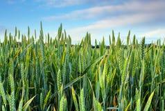 Campo de trigo verde da mola Imagem de Stock Royalty Free