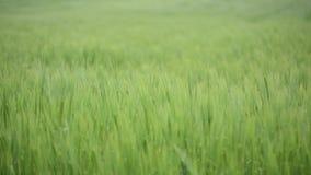 Campo de trigo verde debajo del cielo nublado dramático Crecimiento de cosechas joven del trigo en un campo agrícola Agricultura  almacen de metraje de vídeo