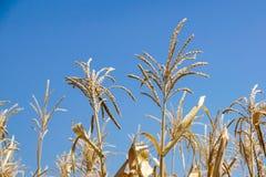Campo de trigo verde en estación de primavera Paisaje rural agrícola en Sunny Evening imagenes de archivo