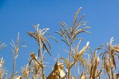 Campo de trigo verde en estación de primavera Paisaje rural agrícola en Sunny Evening fotografía de archivo