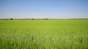 Campo de trigo verde en junio metrajes