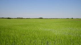 Campo de trigo verde en junio almacen de metraje de vídeo