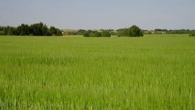 Campo de trigo verde en junio y casas del pueblo en Rusia almacen de metraje de vídeo