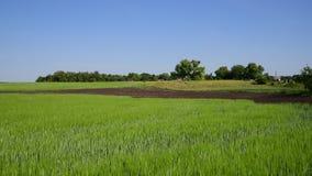 Campo de trigo verde en junio y casas del pueblo en Rusia almacen de video