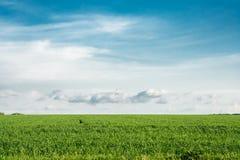 Campo de trigo verde en un fondo del cielo azul Imagen de archivo